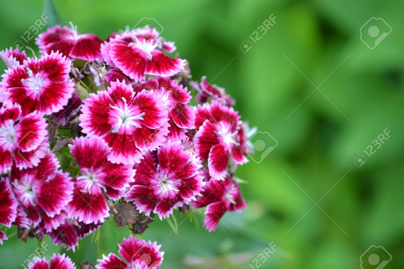 Cloves turkish dianthus barbatus garden plants flower perennial cloves turkish dianthus barbatus garden plants flower perennial close up mightylinksfo