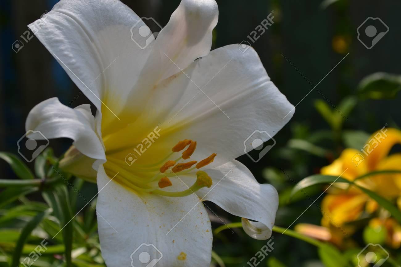 Lily lily white lilium candidum closeup garden flowerbed lily white lilium candidum closeup garden flowerbed flower care izmirmasajfo