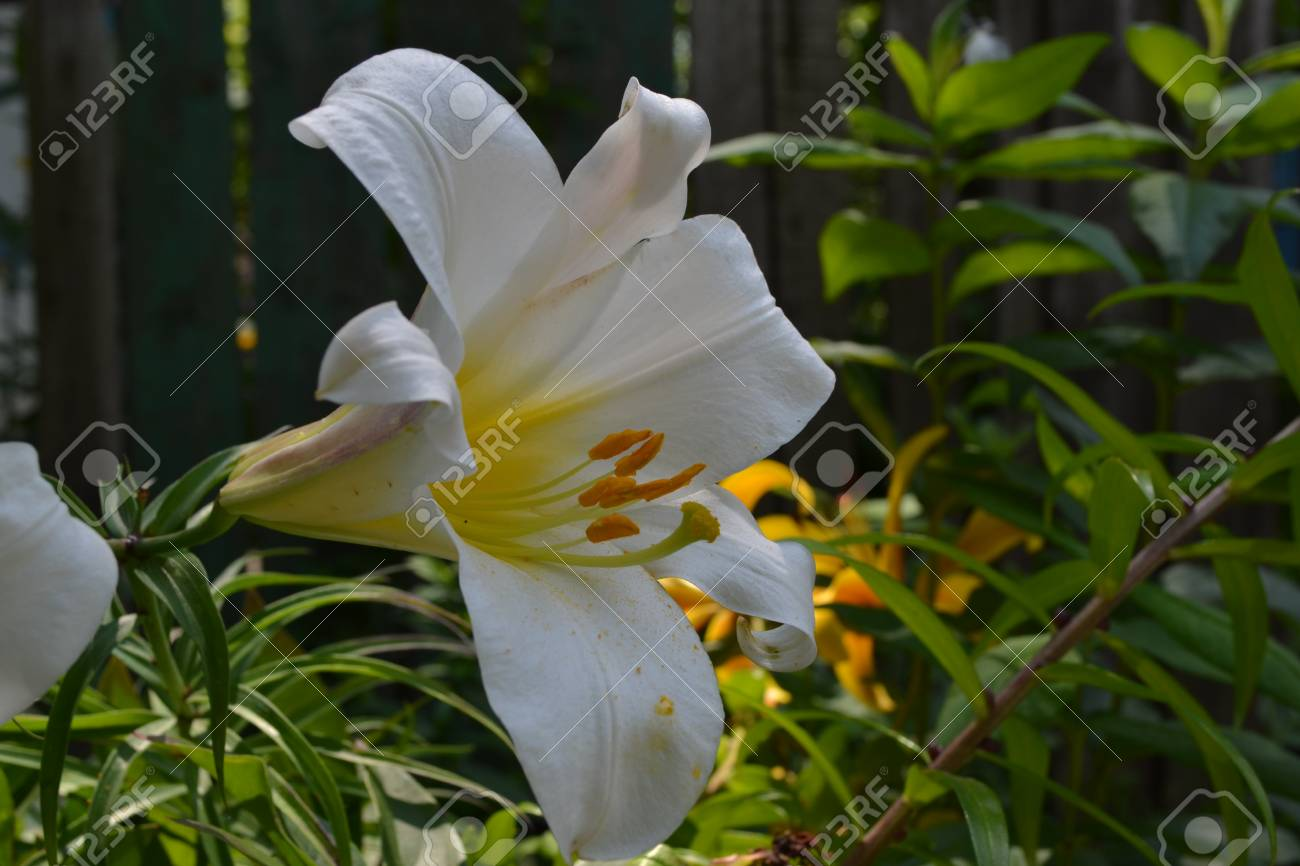 Lily lily white lilium candidum lily flower closeup garden lily white lilium candidum lily flower closeup garden flowerbed izmirmasajfo