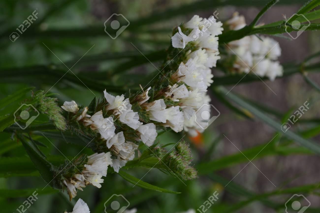 Dried Flowers Limonium Sinuatum Statice Sinuata Flower White