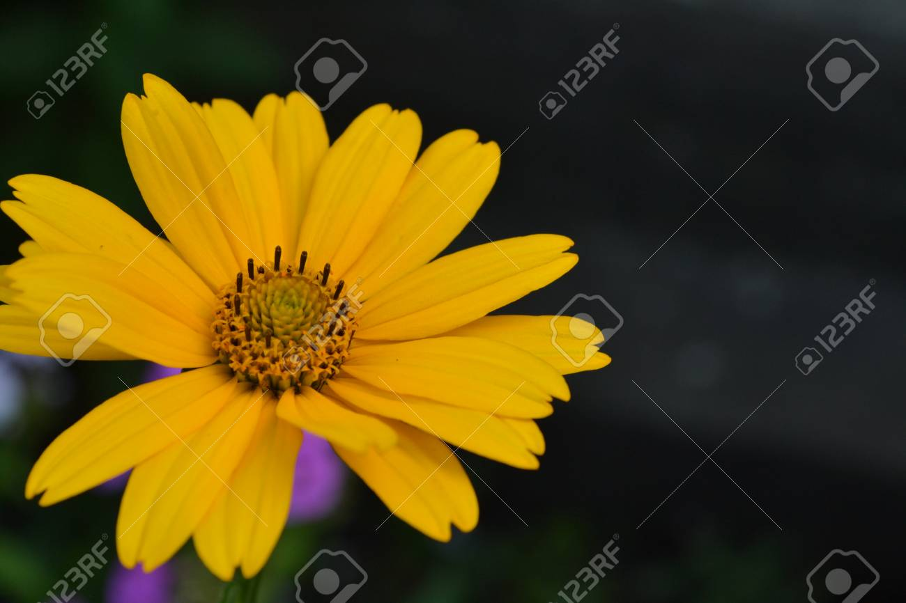 Heliopsis helianthoides perennial similar to the daisy tall heliopsis helianthoides perennial similar to the daisy tall flowers flowers are yellow izmirmasajfo Choice Image