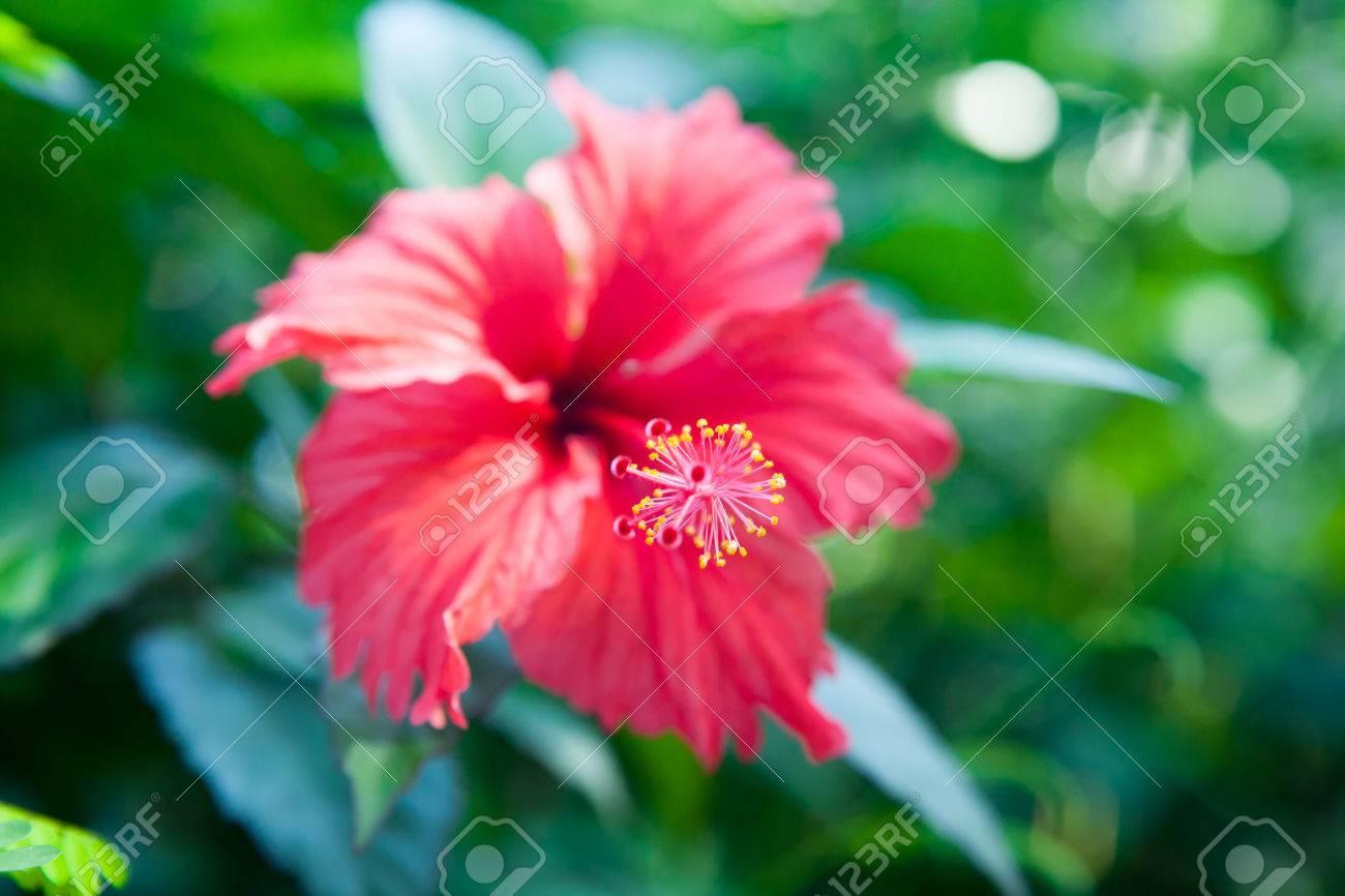 Hibiscus flower shallow deep of field stock photo picture and hibiscus flower shallow deep of field stock photo 36595395 izmirmasajfo