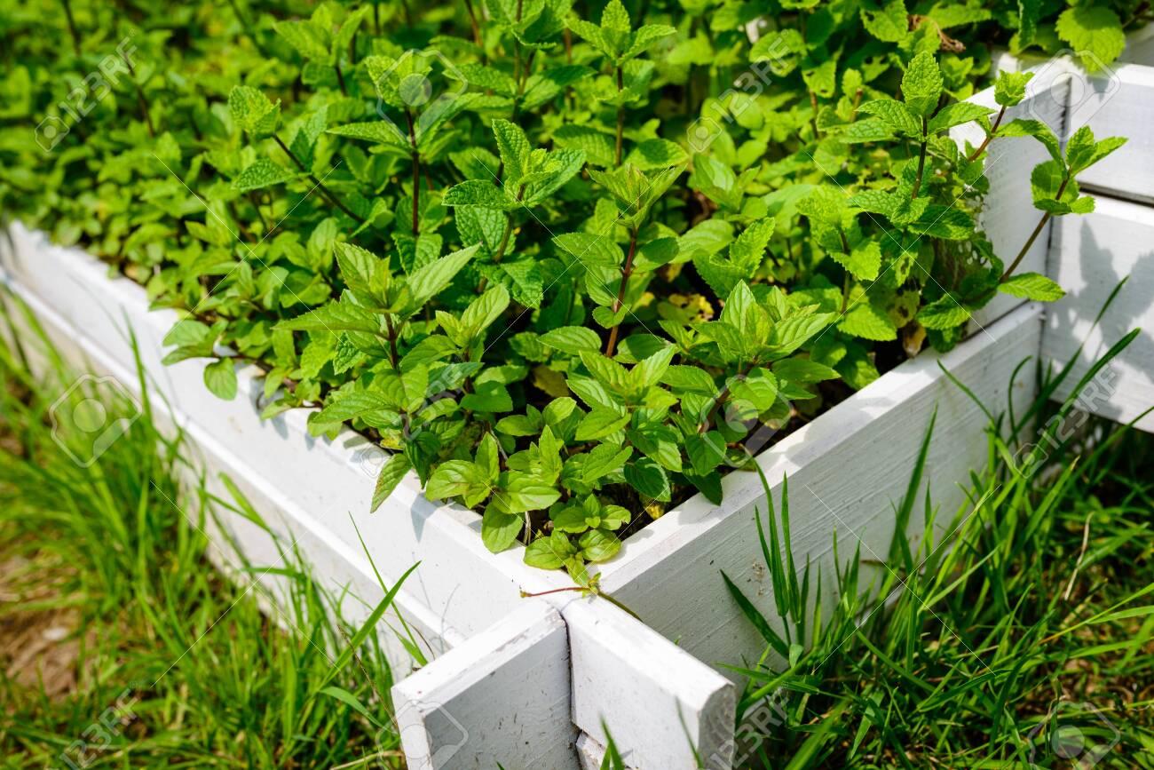 Fresh Peppermint Seedlings In White Wooden Pots In The Herb Garden