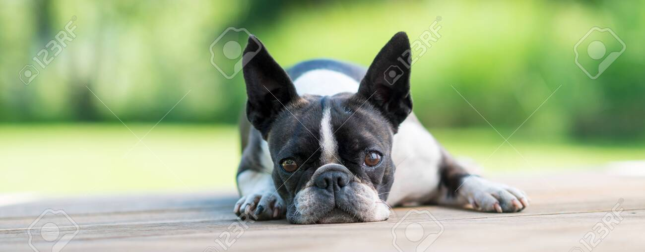 Cute Boston Terrier dog lying on a brown wooden terrace - shallow depth of field - 148457101