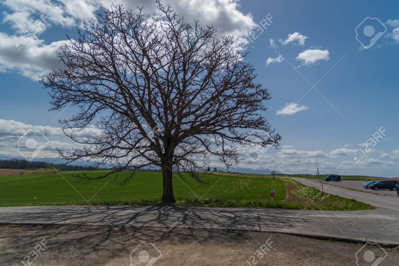 北海道 美瑛に春のセブンスター木 の写真素材 画像素材 Image 79089460