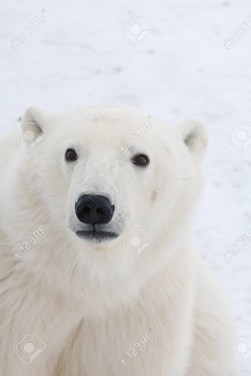 polar bear  of tundra near Churchill Canada Stock Photo - 9849250