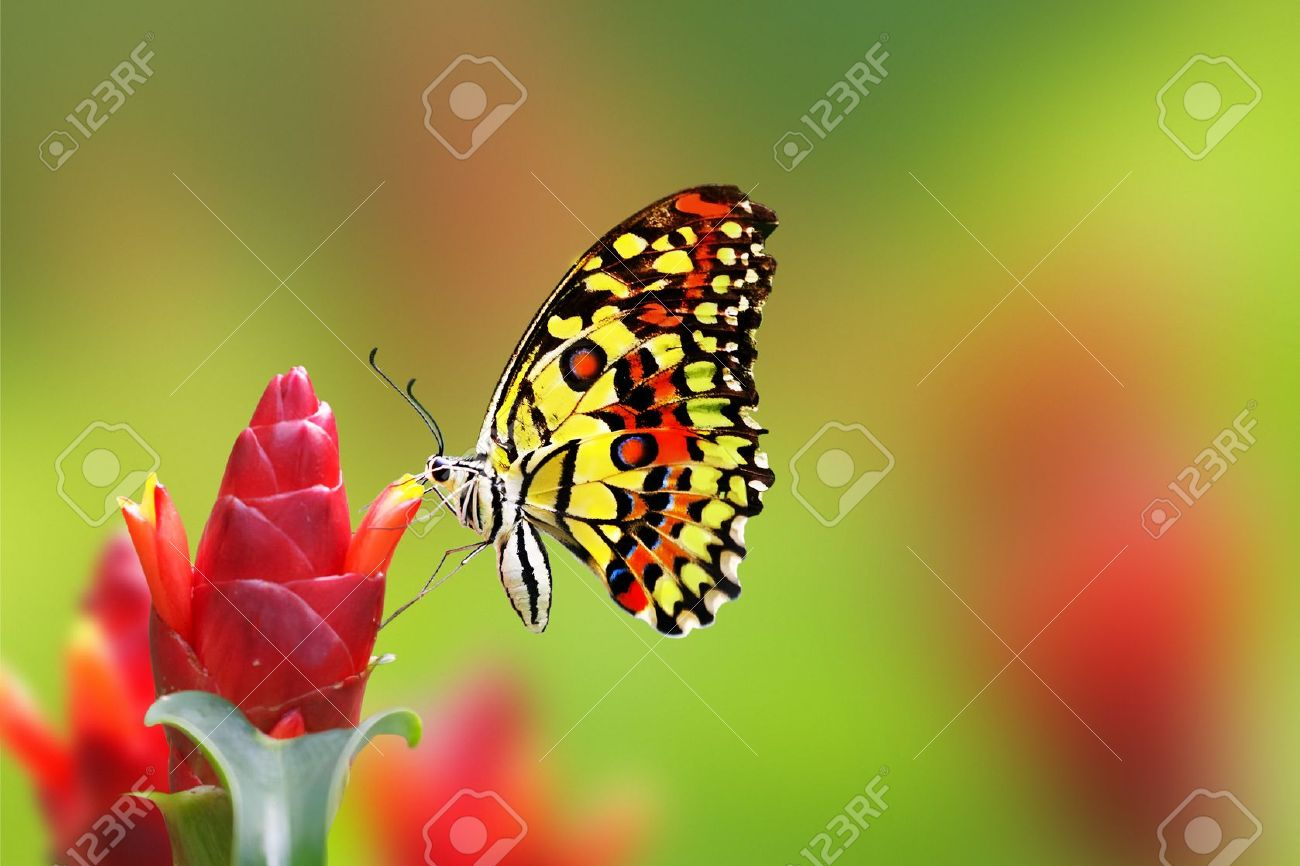 Beautiful butterfly drinking nectar from flower Stock Photo - 10371641