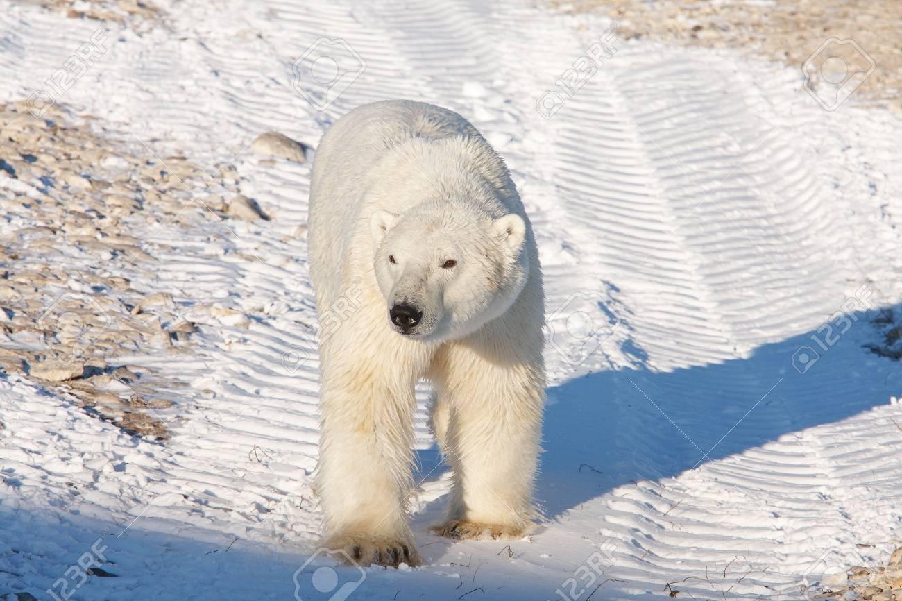 Polar bear, King of the Arctic Stock Photo - 16096732