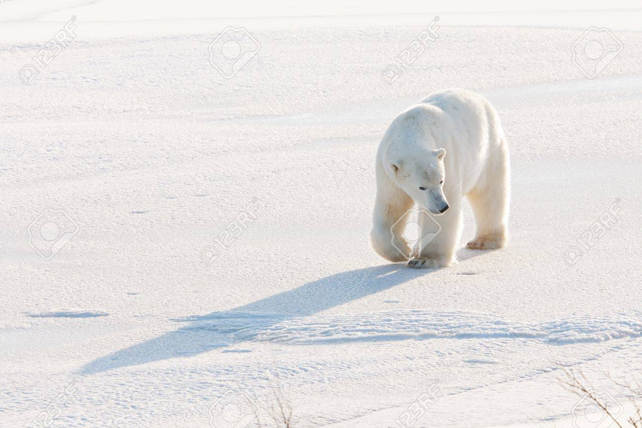 Polar bear, King of the Arctic - 16424253