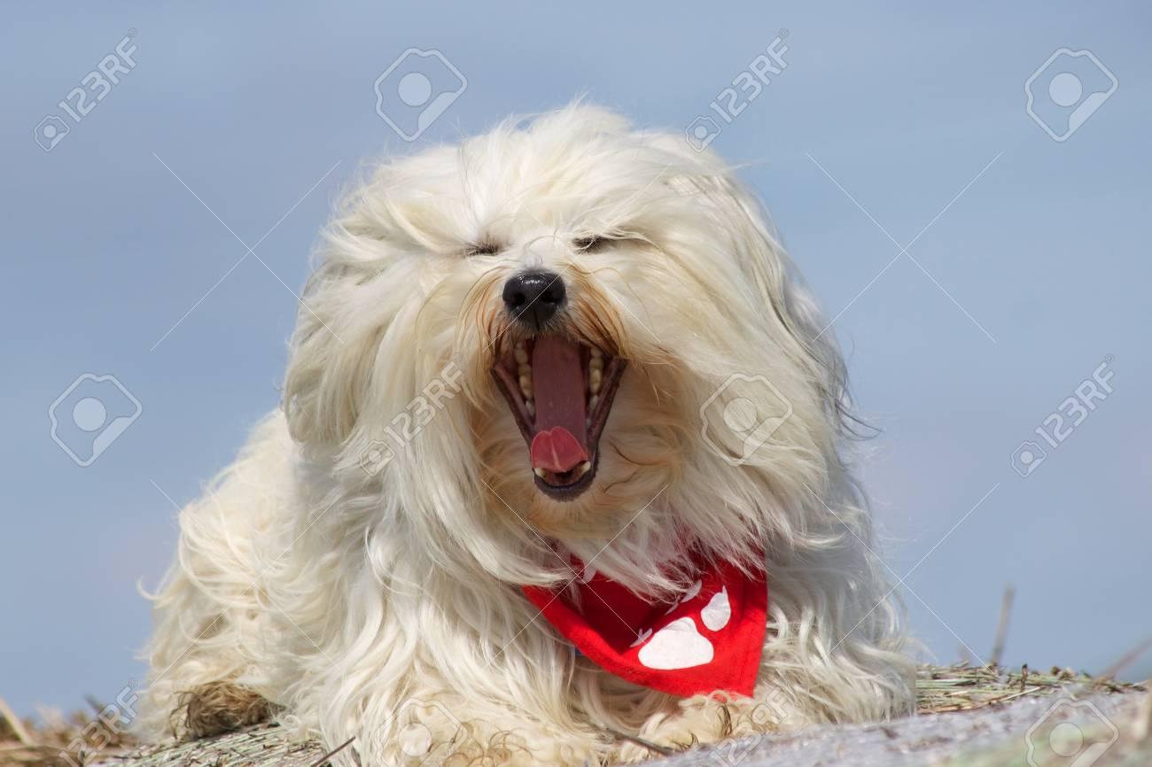 Yawning Havanese Stock Photo - 17741244