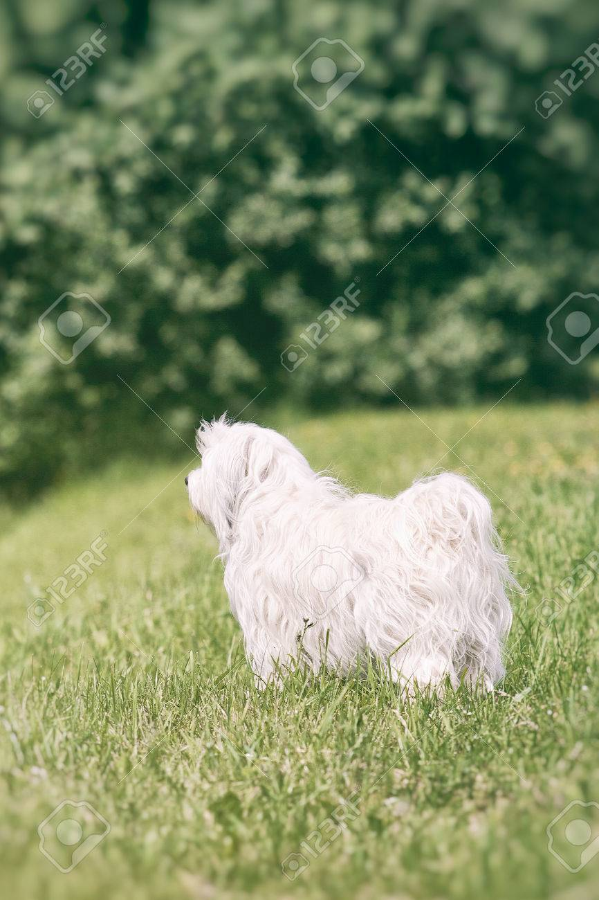 A Small White Long Haired Dog Stands In A Field And Observed Stock