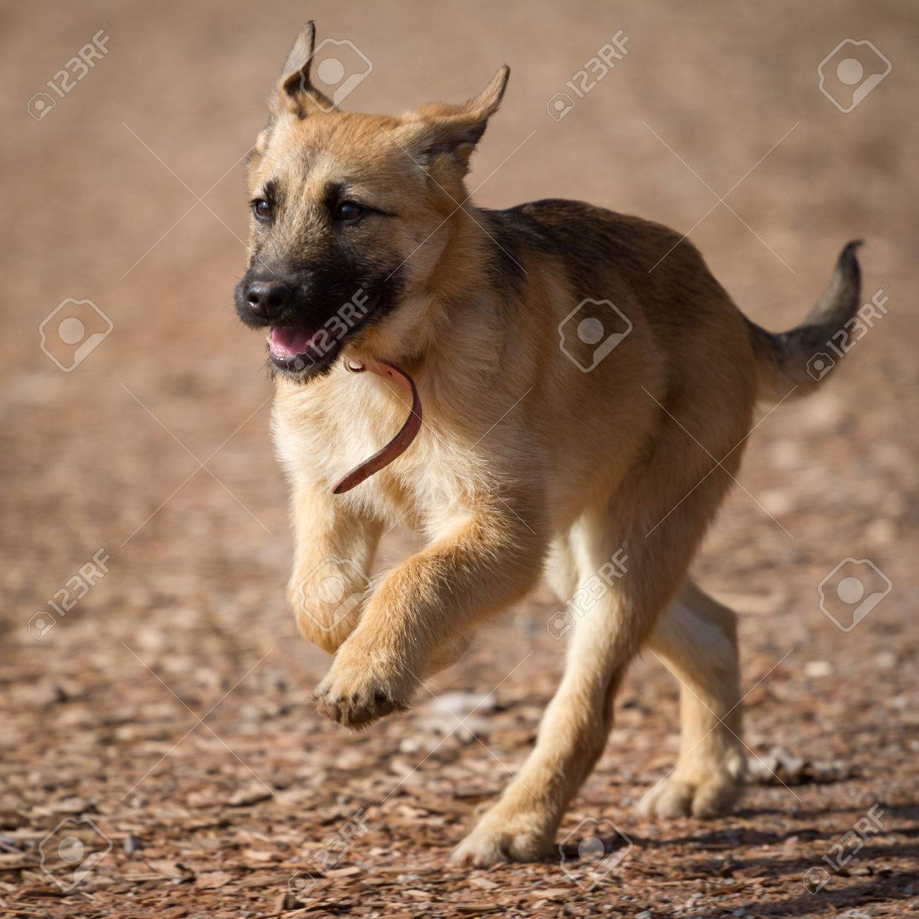 A Young German Shepherd Puppy Run Full Of Life Over A Brown Background Stock Photo Picture And Royalty Free Image Image 26748215