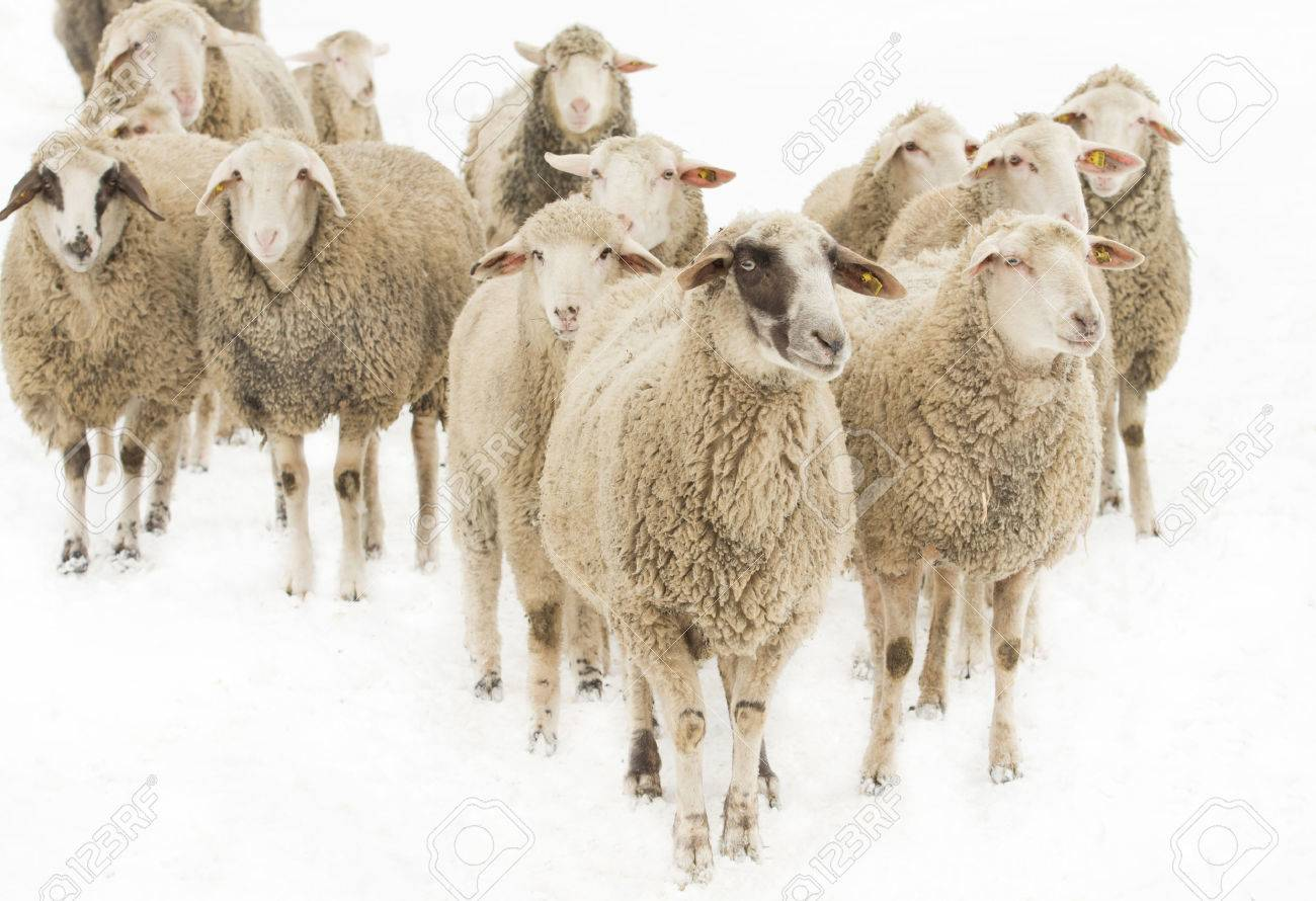 Herd of sheep isolated on white background - 25773663
