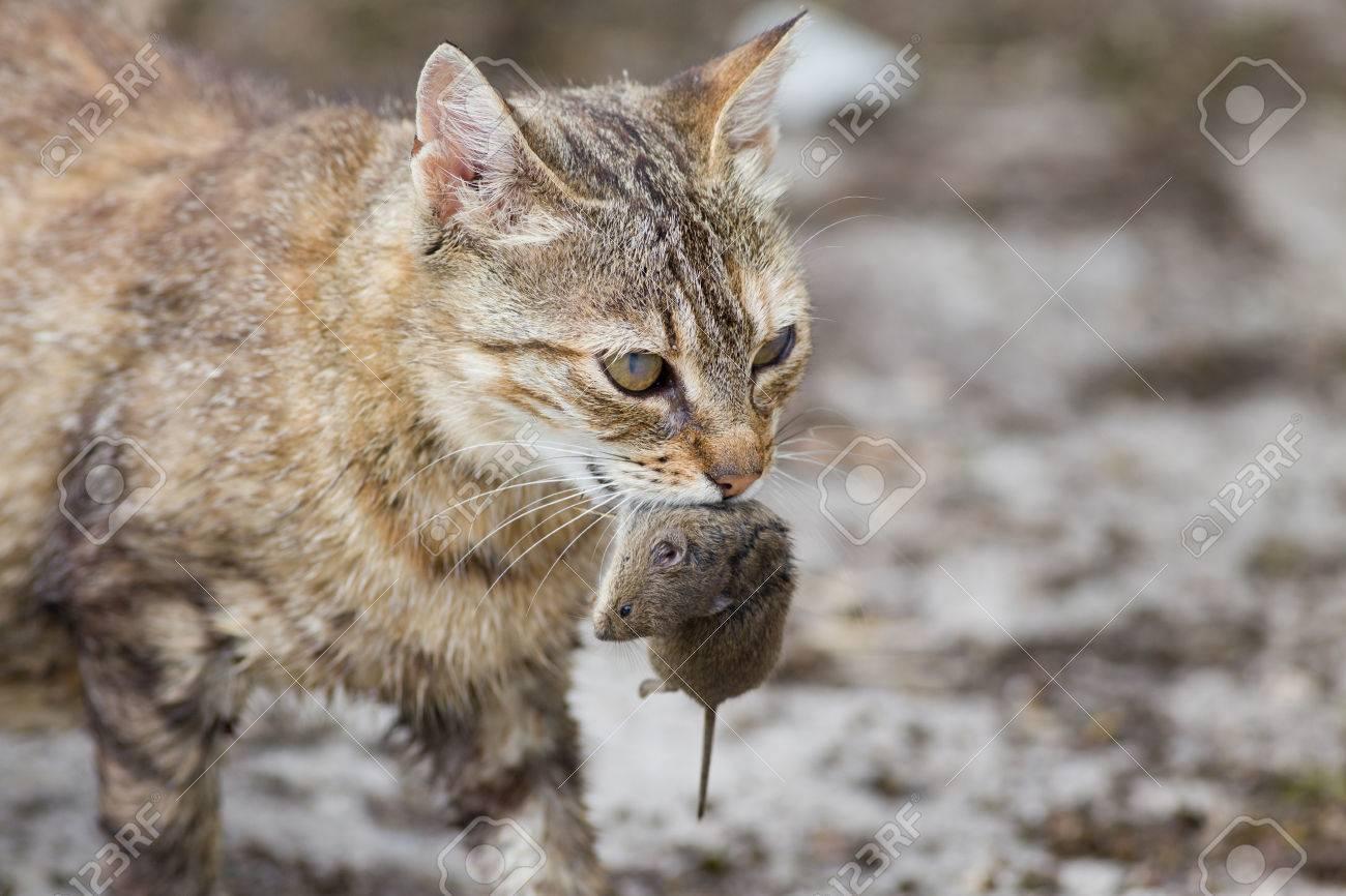 Tabby cat with dangerous look holding prey in teeth - 30512561
