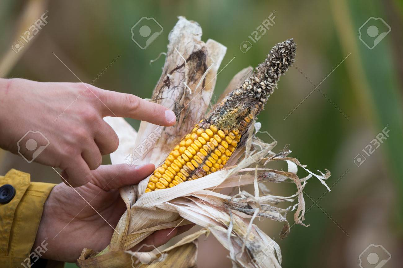 Farmer holding corn cob with disease in field. Bad climate influence on crops - 85647207