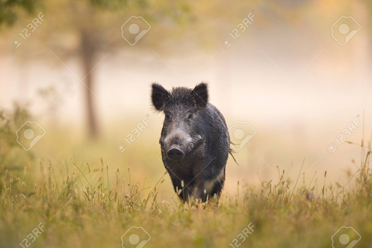 Wild boar (sus scrofa ferus) walking in forest in fog and looking at camera - 98645558