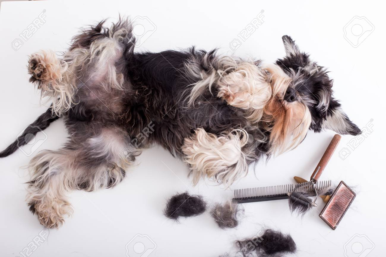 Miniature Schnauzer Lying On White Table With Grooming Tools Stock Photo Picture And Royalty Free Image Image 115960807