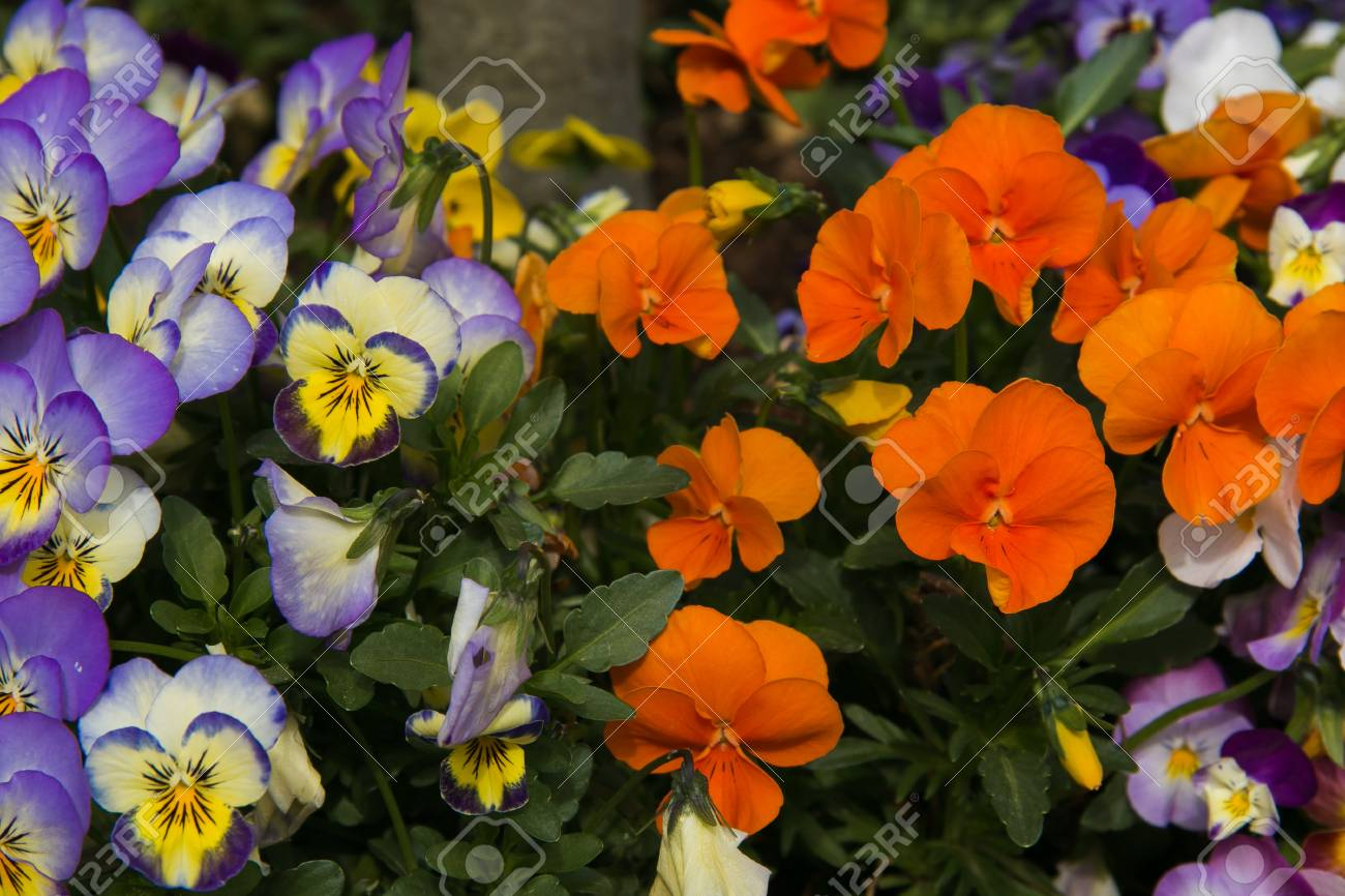 Viola And Yellow Tricolor Pansy Flower Bed Bloom In The Garden