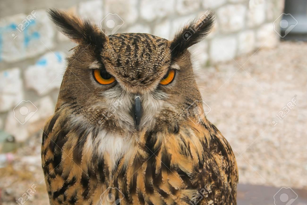 Image of: Great Horned Portrait Of Beautiful Owl Nocturnal Bird With Big Eyes Stock Photo 101056760 123rfcom Portrait Of Beautiful Owl Nocturnal Bird With Big Eyes Stock Photo