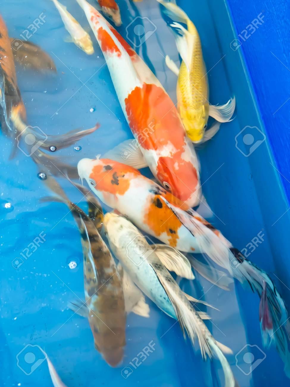 Koi fish Stock Photo - 13450783