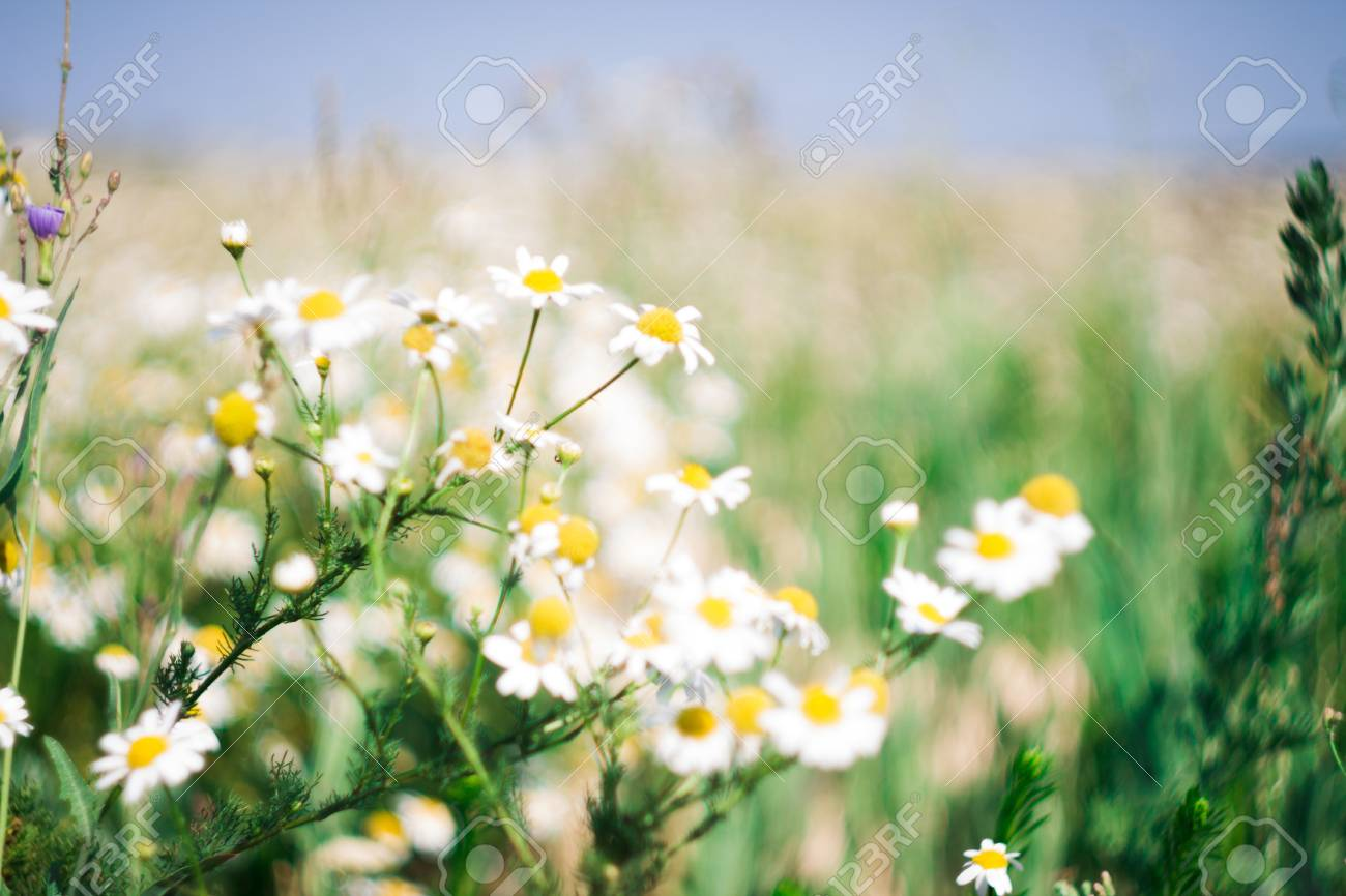 Field Of Flowers Of White Daisies For A Background Stock Photo