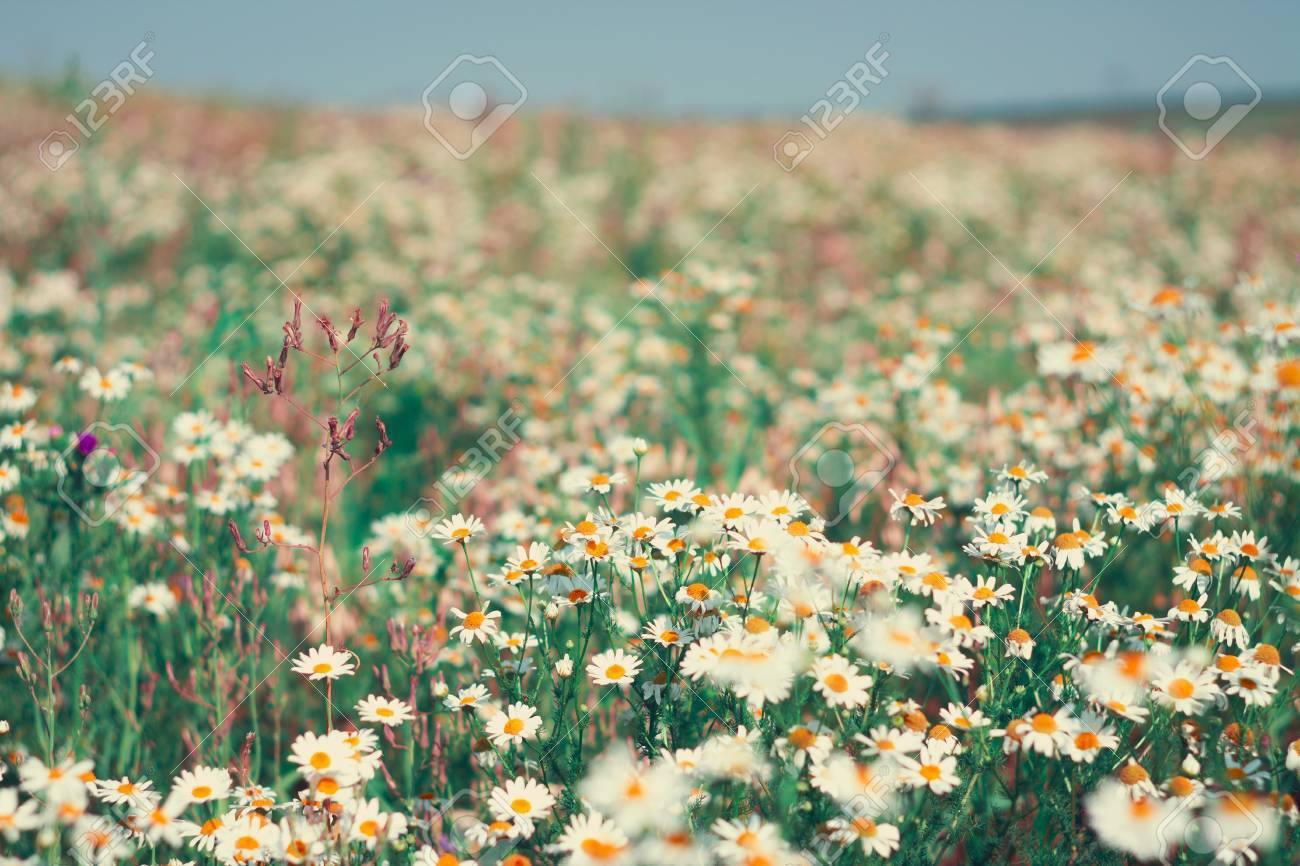 Field Of Flowers Of White Daisies The Field Of Flowers Of White