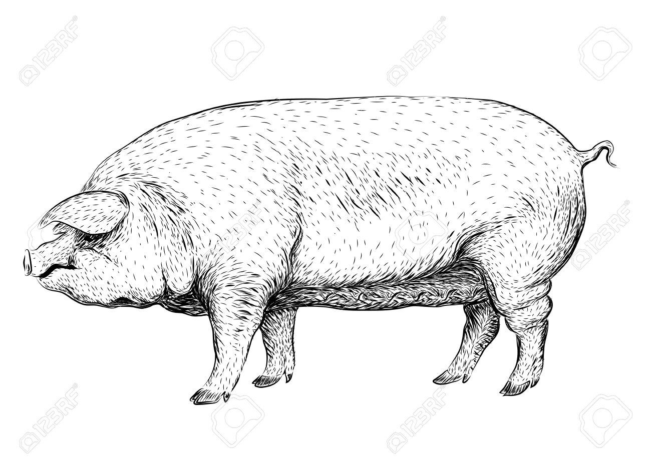 Wie groß werden Schweine