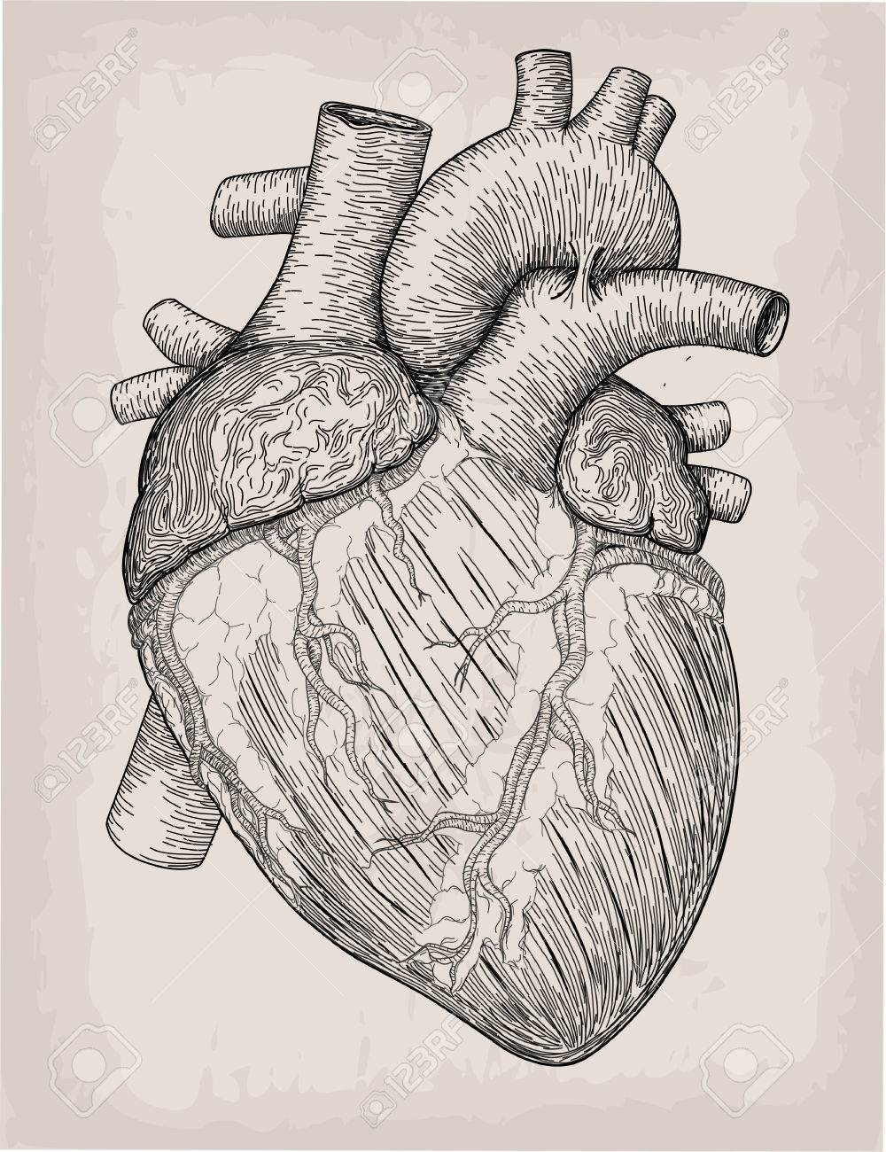 Human Heart Hand Drawn Anatomical Sketch Medicine Vector