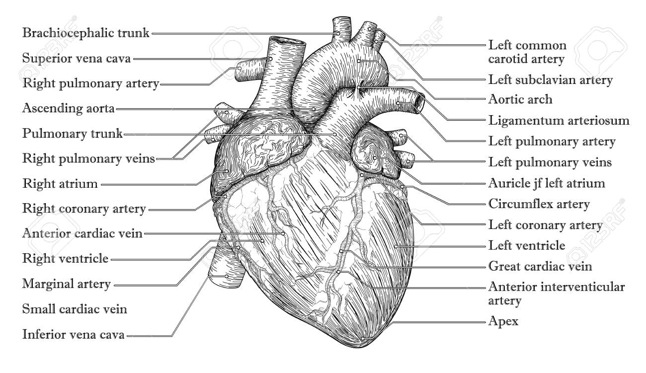 Anatomical Human Heart Hand Drawn Sketch With Inscription Of ...