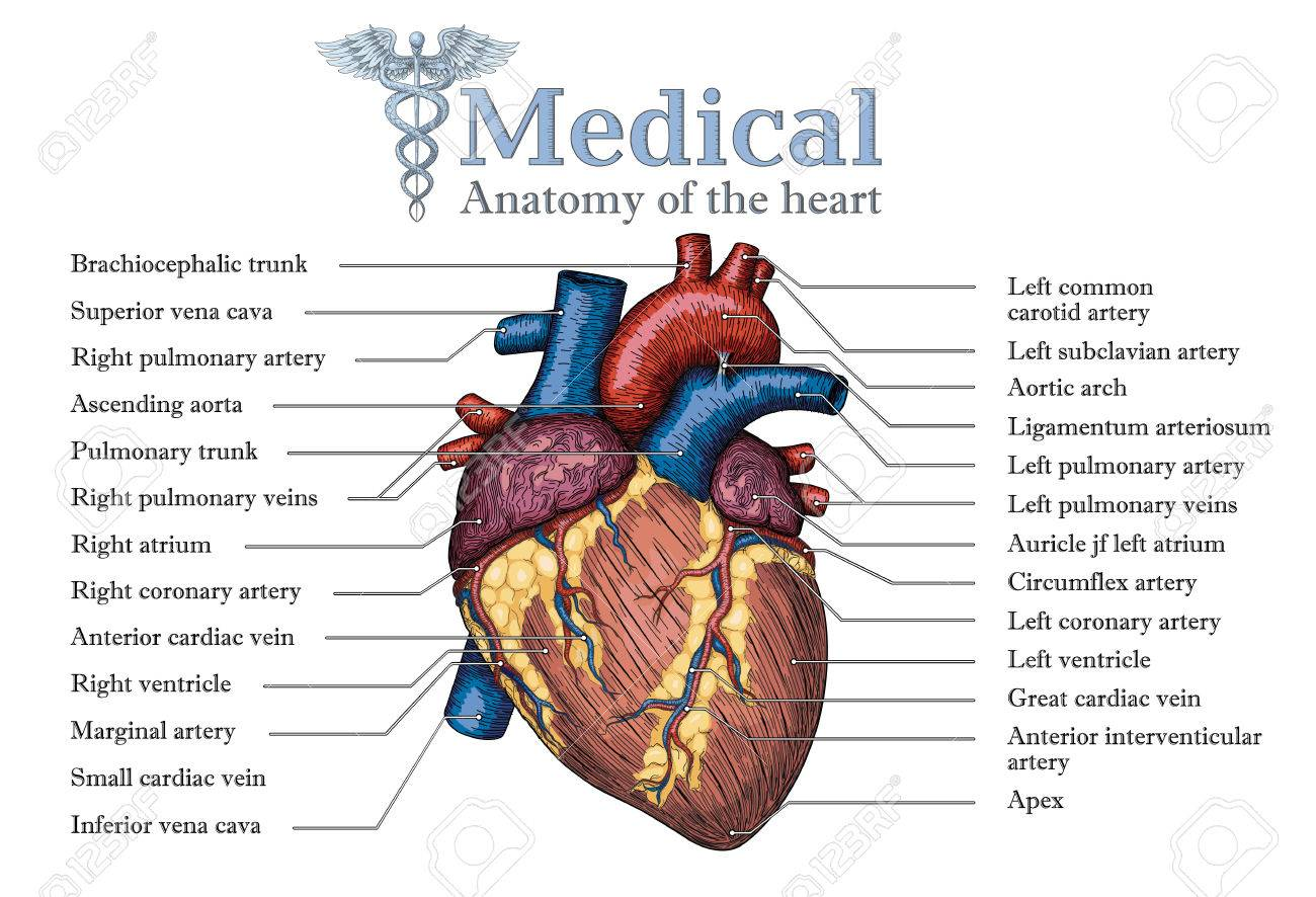 Cartel Humano Anatómico Del Corazón Humano Con La Inscripción Del ...