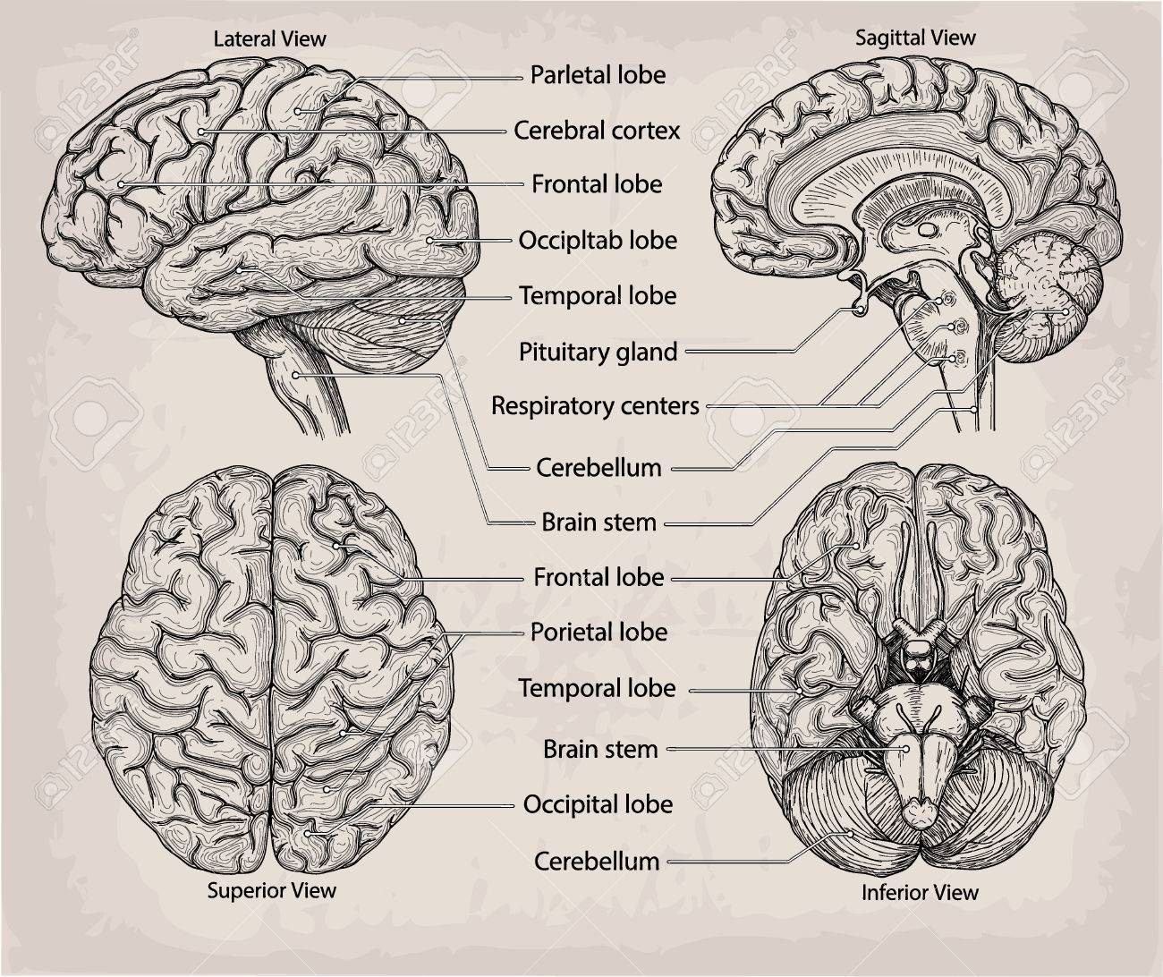 Detailed Brain Anatomy Images - human body anatomy
