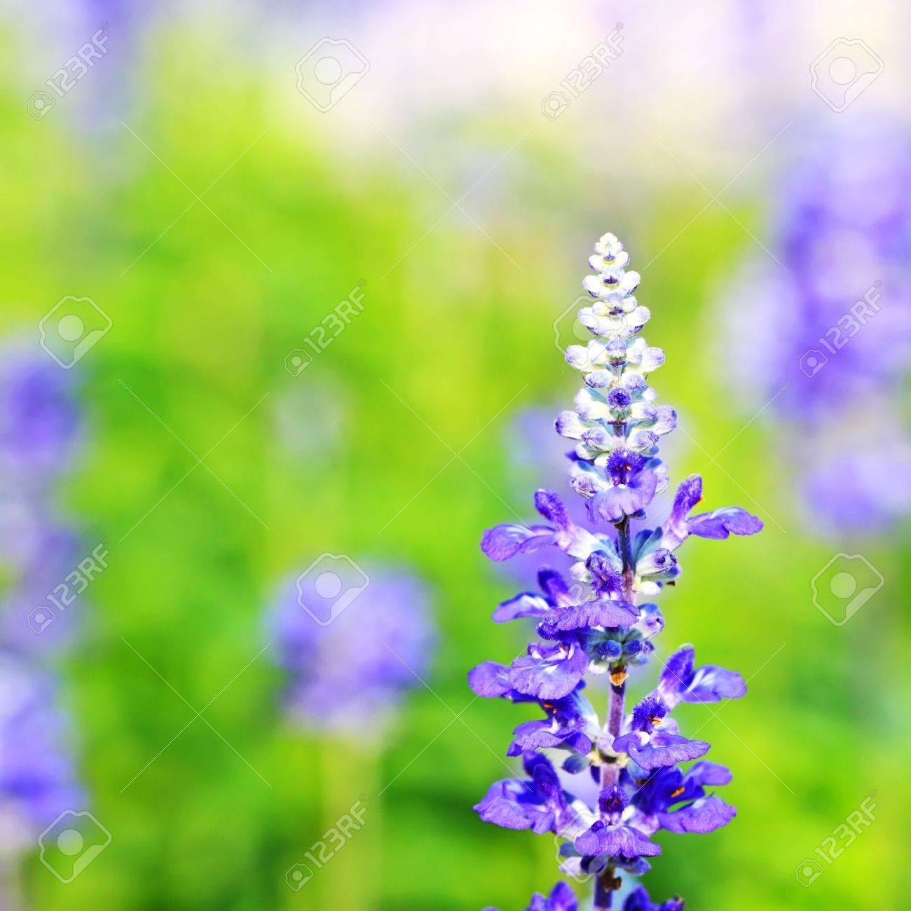 Salvia close-up Stock Photo - 12523682