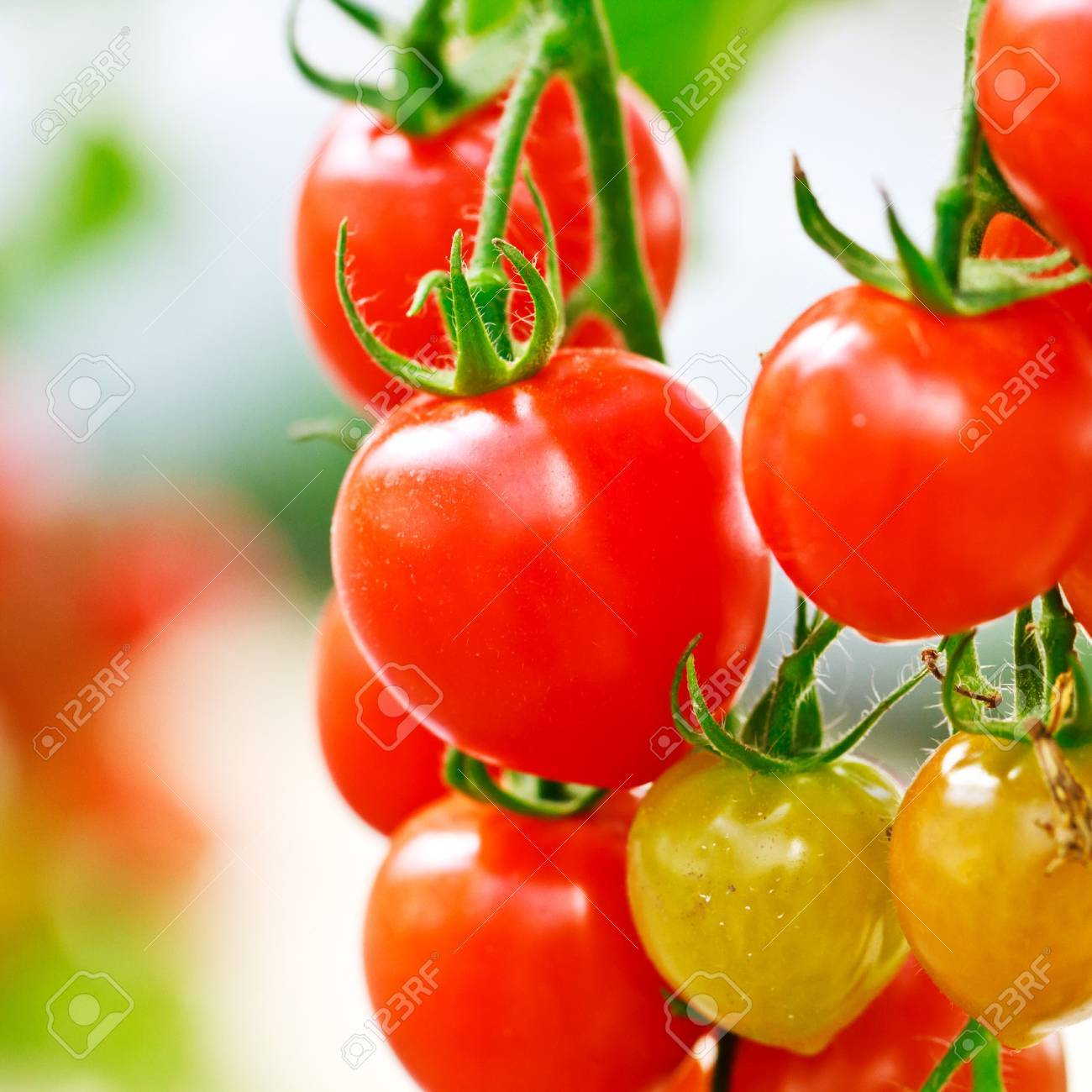 RIpe garden tomatoes ready for picking Stock Photo - 13088451