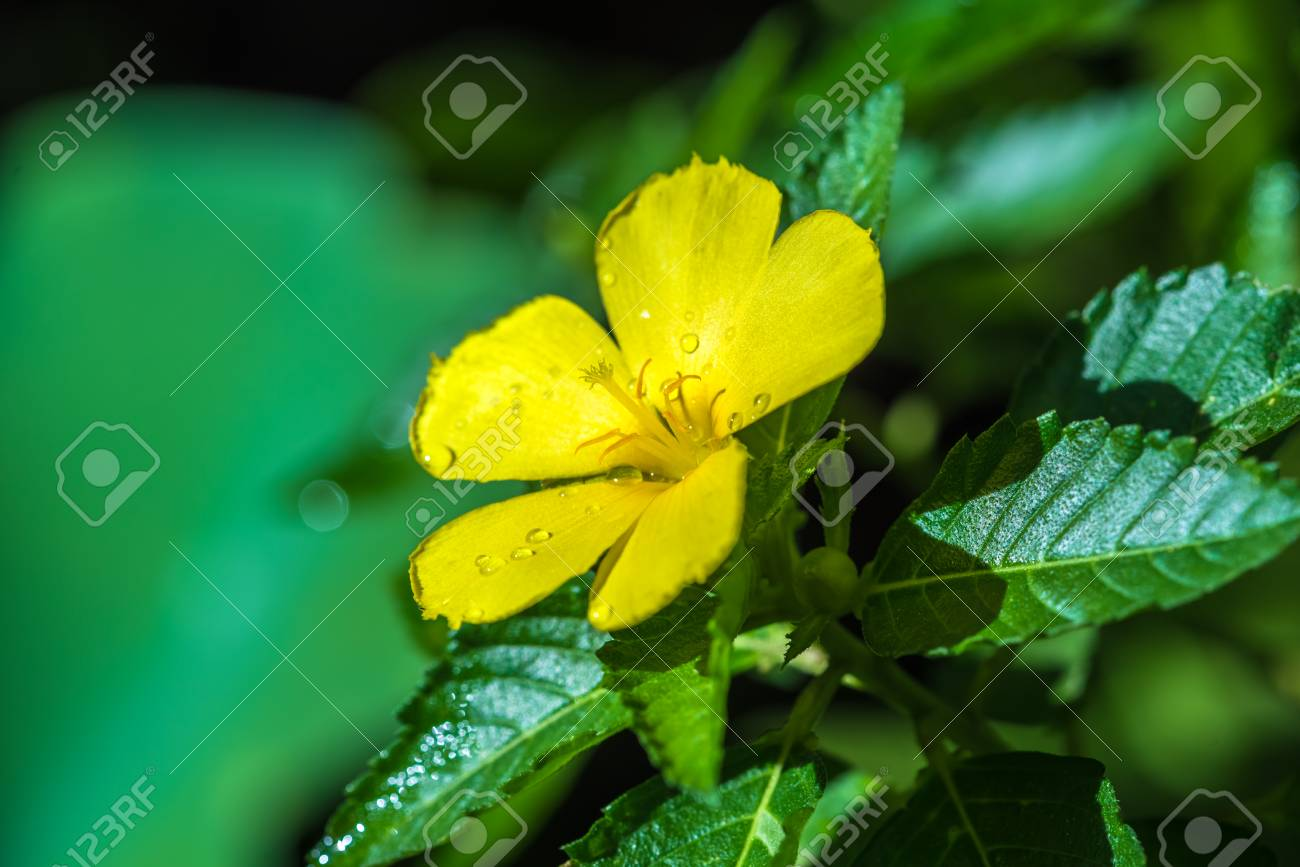 Yellow Sage Rose Was Blooming In The Nature Stock Photo Picture And
