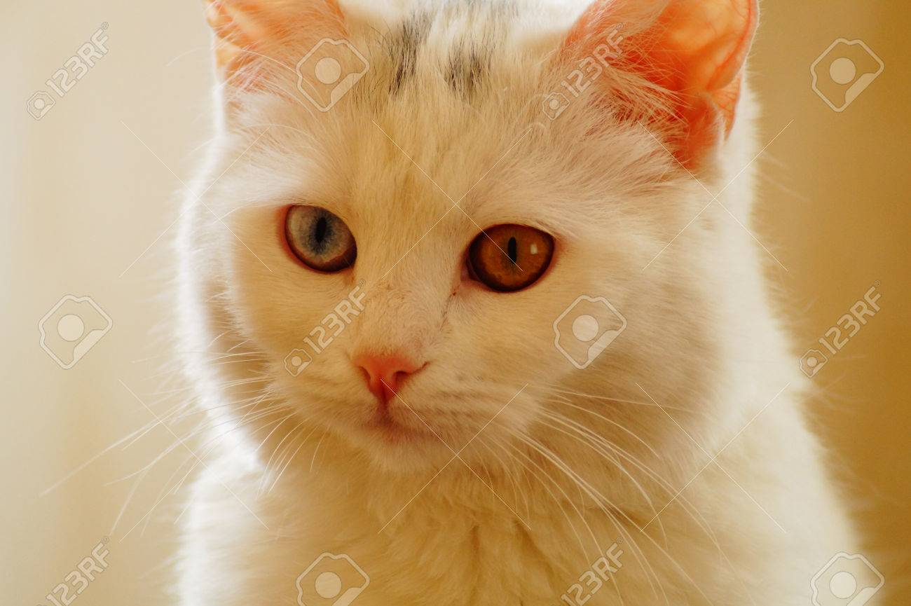93d1d68727 Cute Van cat Stock Photo - 71358059