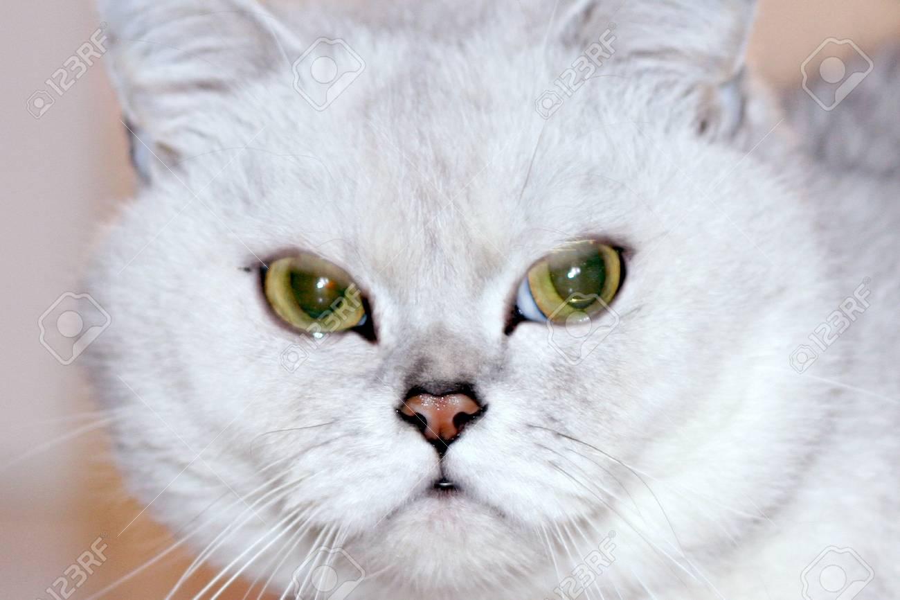 scene pedigreed home cat Stock Photo - 9492596