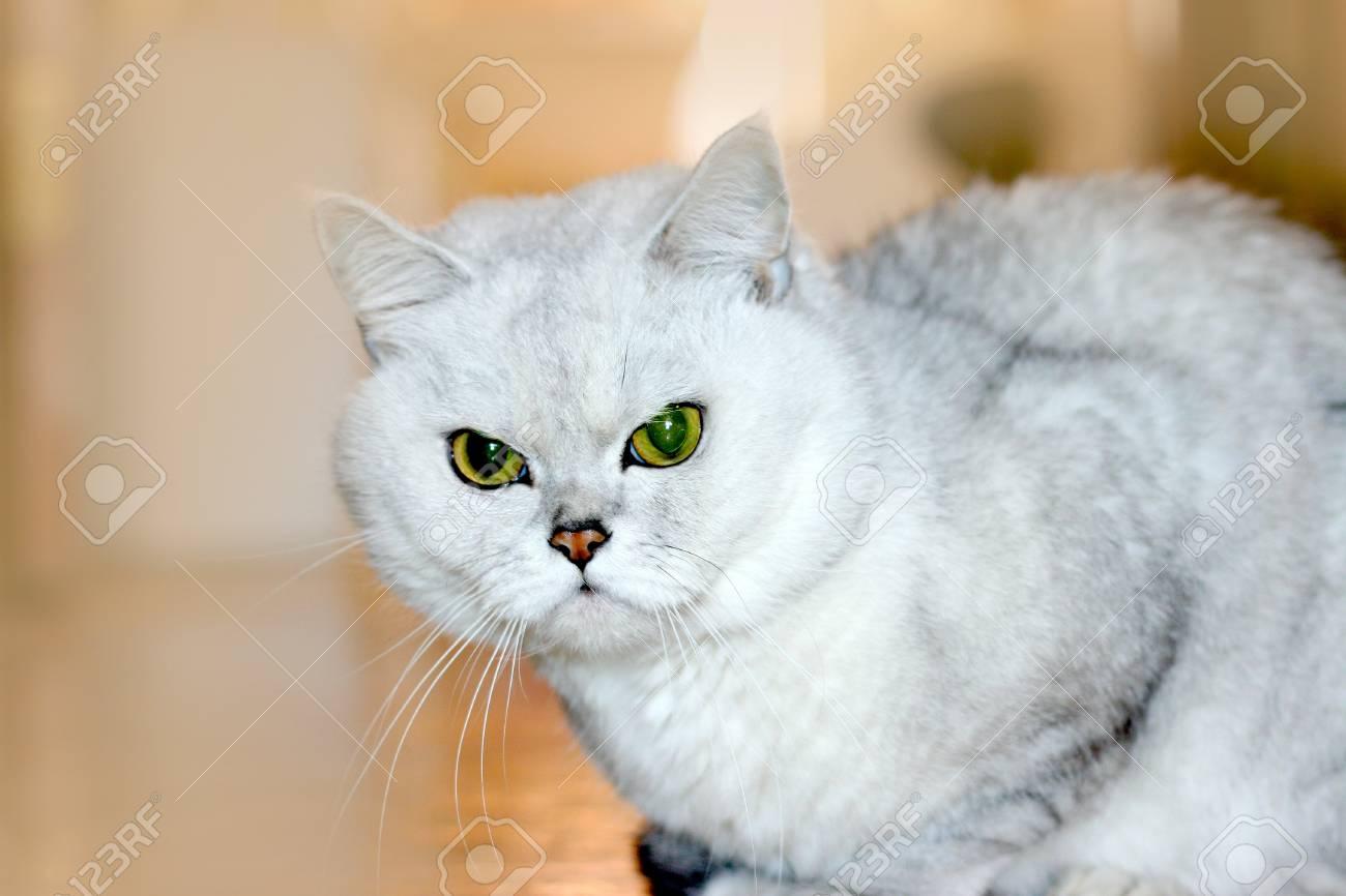 scene pedigreed home cat as illustration Stock Illustration - 9492551