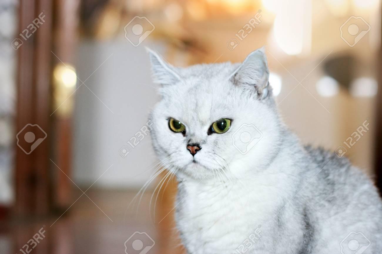 scene pedigreed home cat as illustration Stock Illustration - 9492568
