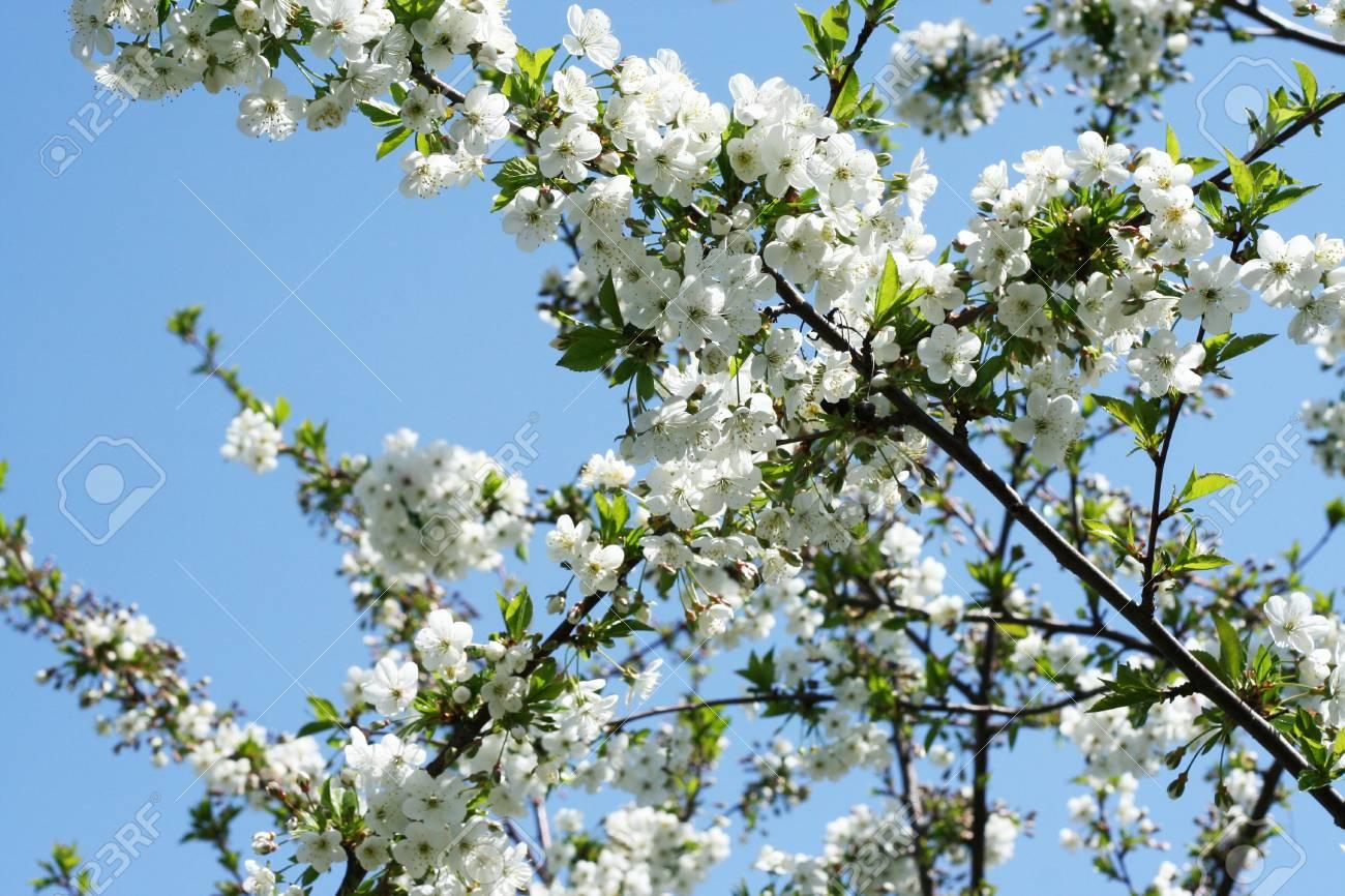 Beautiful cherry blossoms Stock Photo - 9702394