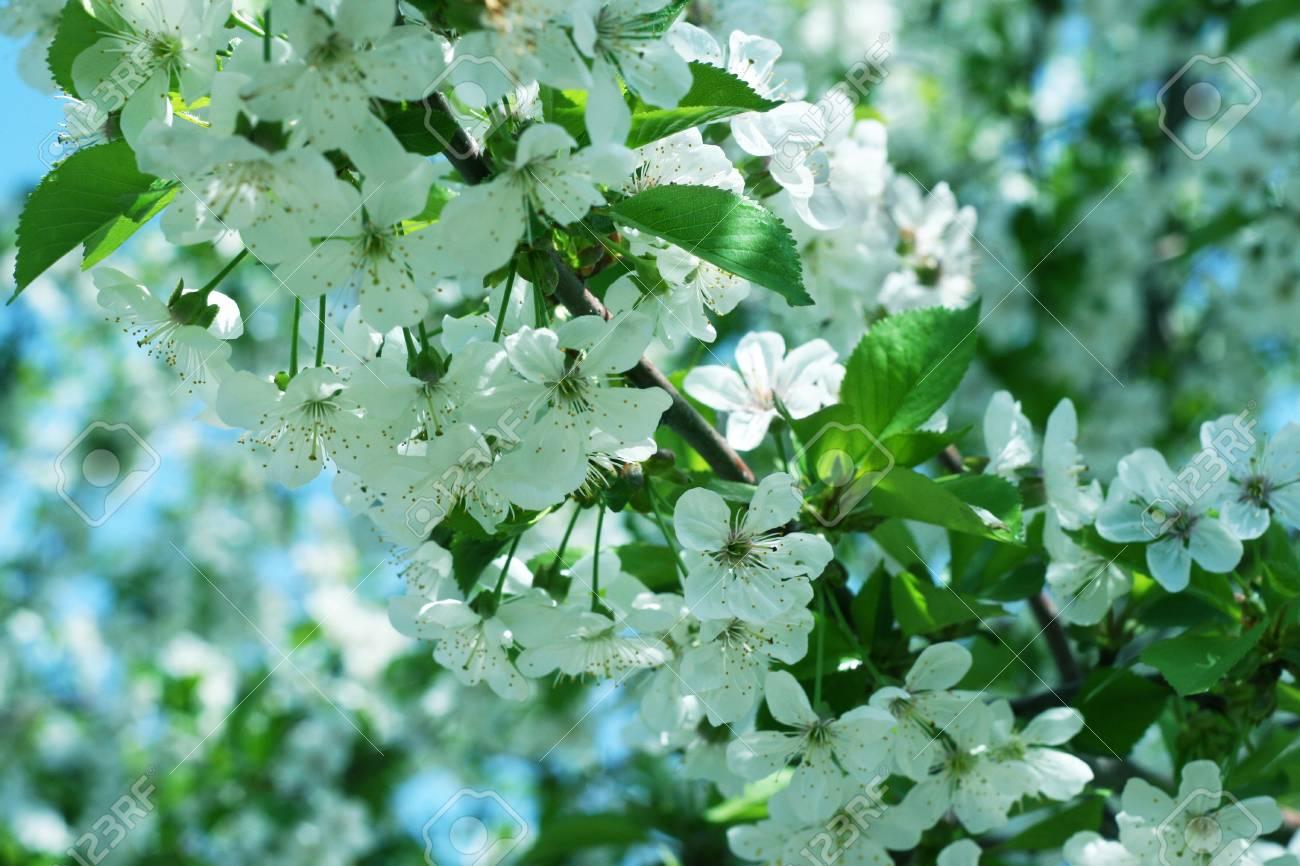 beautiful flowerses cherry on tree in park Stock Photo - 9492302