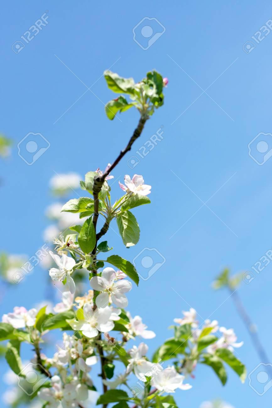 flowers on the cherry tree Stock Photo - 9605374