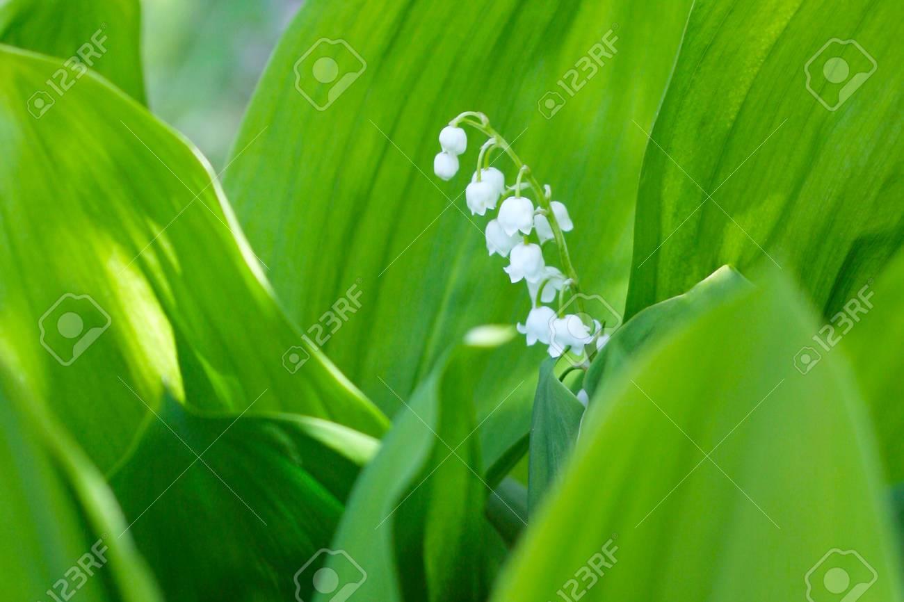 lily of the valley Stock Photo - 9606799