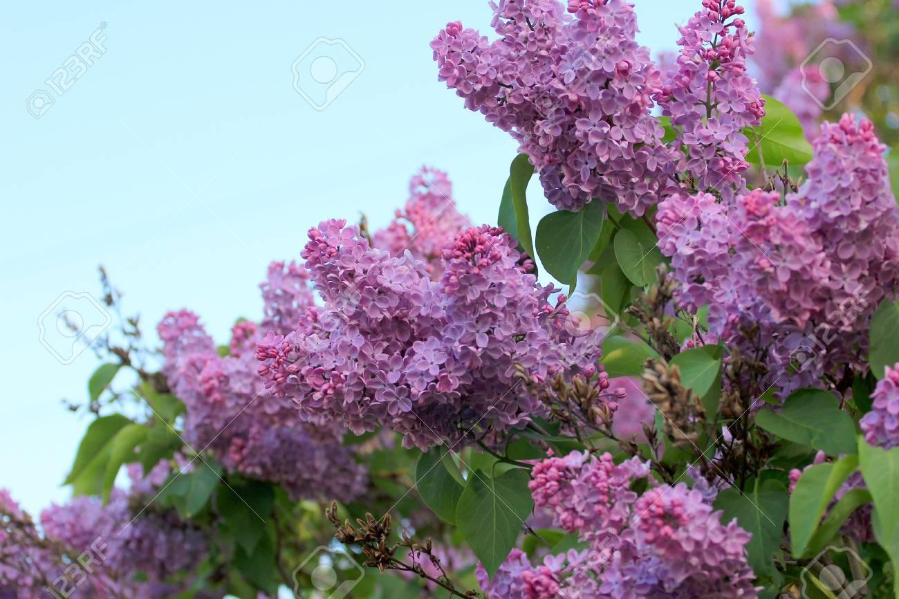 Albero Di Lillà fioritura albero di lillà come simbolo di primavera il risveglio della  natura