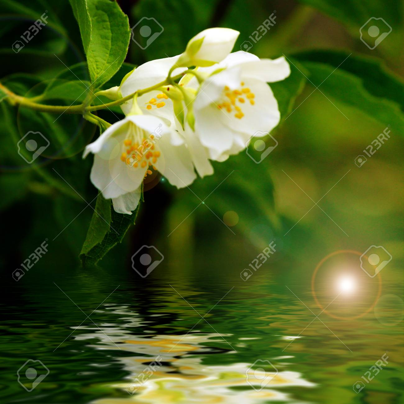Beautiful Jasmine Flower Reflection In Water Surface Stock Photo
