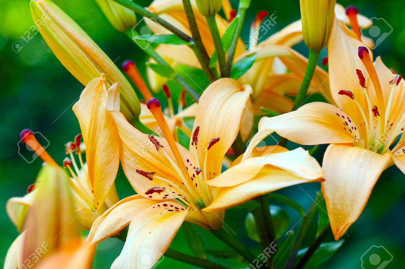 Leaves and buds of a beautiful lily flower in the wild stock photo leaves and buds of a beautiful lily flower in the wild stock photo 81673191 izmirmasajfo
