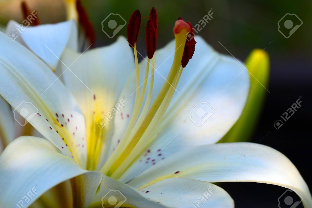 Leaves and buds of a beautiful lily flower in the wild stock photo leaves and buds of a beautiful lily flower in the wild stock photo 81673222 izmirmasajfo