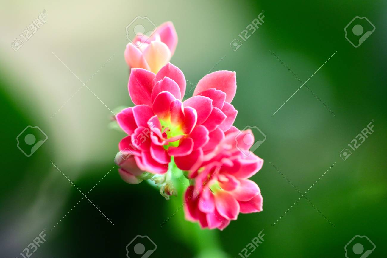 Lovely pink small flowers of a house plant stock photo picture and lovely pink small flowers of a house plant stock photo 92775021 mightylinksfo