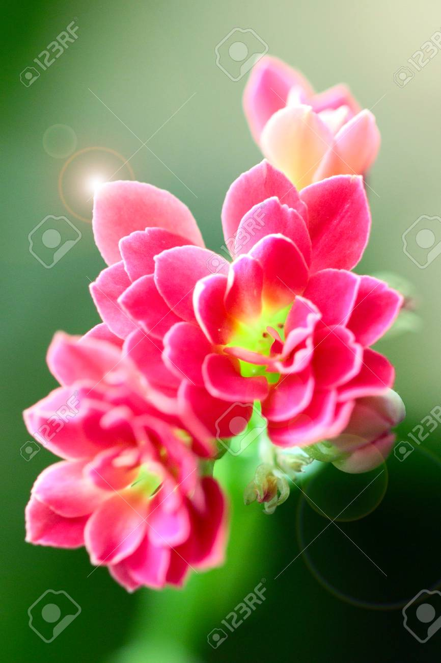 Lovely pink small flowers of a house plant stock photo picture and lovely pink small flowers of a house plant stock photo 92774493 mightylinksfo
