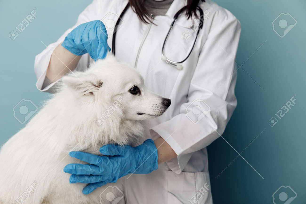 Veterinary checks the ears dog on the table in vet clinic, pet care concept - 169819170