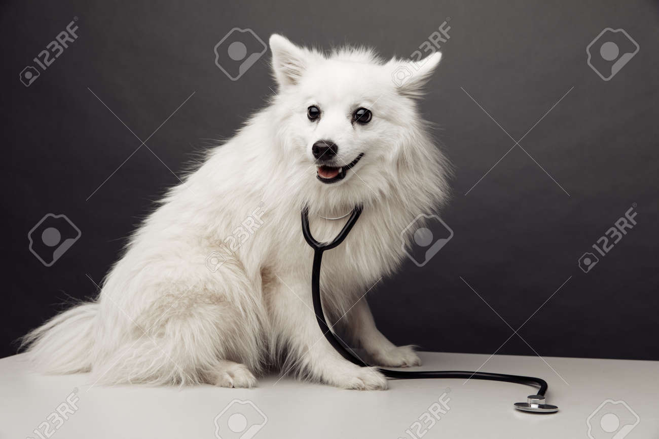 White dog with stethoscope on table in vet clinic on grey background. Pet care concept - 169820280